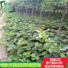 30公分高草莓苗白雪公主草莓苗妙香草莓苗亩产多少斤图片