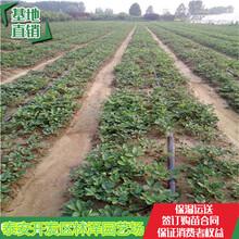30公分高草莓苗桃熏草莓苗法兰地草莓苗亩产多少斤图片