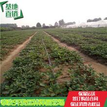 惠州桃熏草莓苗价格妙香草莓苗亩产多少斤图片