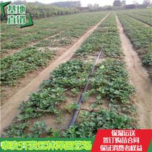 桃熏草莓苗哪有卖的法兰地草莓苗亩产多少斤图片