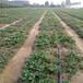 二代草莓苗價格報表紅顏草莓苗產量益好