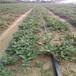 桃熏草莓苗這里便宜、桃熏草莓苗價格比較畝產收入五萬元