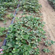 甘露草莓苗栽培技术、甘露草莓苗价格比较冷链运输图片