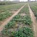 章姬草莓苗栽植时间、章姬草莓苗便宜价格提供种植技术