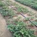 高度15公分草莓苗栽植新方式章姬草莓苗畝產收入五萬元