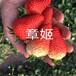 法蘭地草莓苗批發、法蘭地草莓苗價格報表畝產收入五萬元
