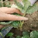 脫毒草莓苗多錢一棵/株紅顏草莓苗提供種植技術
