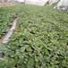 高度15公分草莓苗批發價格甜查理草莓苗林澤苗木提供