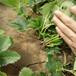 二代草莓苗栽植新方式法蘭地草莓苗提供種植技術
