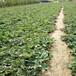紅顏草莓苗一畝地栽植數量、紅顏草莓苗價格報表冷鏈運輸