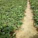 二代草莓苗批發價格甜寶草莓苗提供種植技術