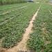二代草莓苗栽培技術法蘭地草莓苗提供種植技術