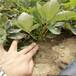 隋珠草莓苗基地、隋珠草莓苗結果時間產量益好