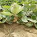 妙七草莓苗栽植时间、妙七草莓苗价格比较提供种植技术