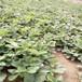 二代草莓苗結果時間章姬草莓苗畝產收入五萬元