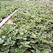 宁玉草莓苗一亩地栽植数量、宁玉草莓苗价格报表冷链运输