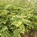 無刺花椒苗買苗必讀、無刺花椒苗技術報價保品種簽合同