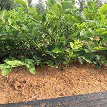 奥尼尔蓝莓苗价格、贵州图片