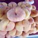 大果桃樹苗便宜價格黑桃樹苗基地