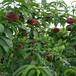 介紹映霜紅桃樹苗這里便宜