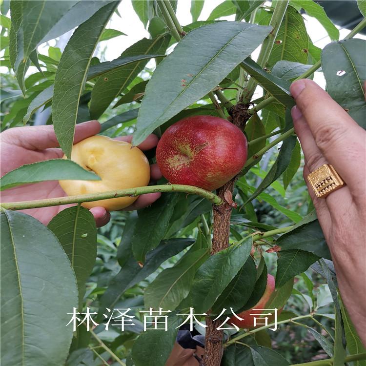 7-7油蟠桃苗好成活 7-7油蟠桃苗纯度高好成活