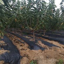 成都崇州市1公分美早樱桃苗批量价格图片