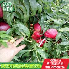 山西6-05油桃樹苗規格及價格圖片