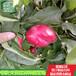 山東早48油桃樹苗多錢一棵
