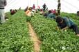 河南洛阳红薯苗基地