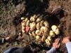 多伦土豆代收