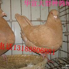 淑女种鸽价格图片
