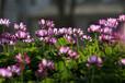 供应优质紫云英种子绿肥种子天然饲料优质牧草