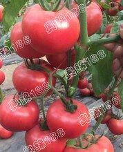 奥锦188寿光创新种子有限公司抗TY病毒粉果番茄种子图片