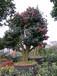 茶花树桩盆景