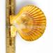 北海黄色扇贝壳厂国产彩色扇贝壳5~8cm
