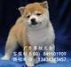 柴犬幼犬-纯种健康专业狗场繁殖-签协议-可送货上门