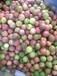 批發供應農業水果廣西百香果和百香果果苗種植