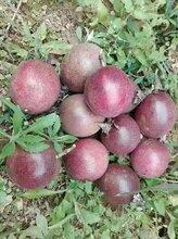百香果果园里面的百香果开始开花了网狼农特百香果果园图片