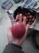 广西百香果种植网狼百香果批发销售果园供应批发价格图片