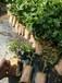 供應高產量百香果種植批發廣西百香果苗紫香一號種植苗