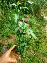 广西网狼农特果园批发新鲜百香果和高产量黄金百香果种植苗图片
