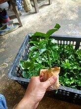 广西水果百香果紫香一号和黄金百香果苗批发什么价格图片
