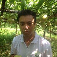 广西网狼农特百香果种植合作社大量批发优质酸甜可口百香果图片