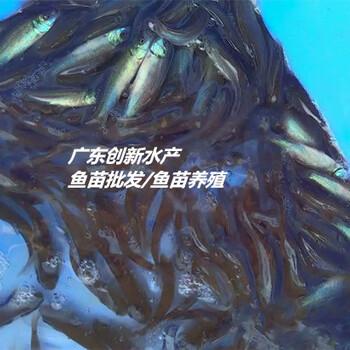广东清远加州鲈鱼苗出售,批发加州鲈鱼苗,免费技术指导!