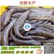 黑鱼苗乌鱼苗生鱼苗报价双氧袋充氧运输鱼苗