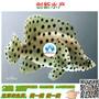 淡水石斑鱼苗价格&淡水石斑鱼苗图片