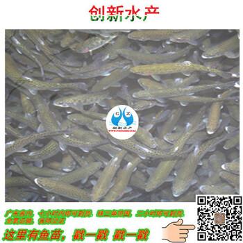 淡水石斑鱼鱼苗批发