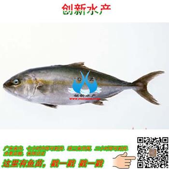广东放生银鳕鱼_创新水产