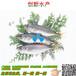 广东大鳞鲃银鳕鱼批发市场_创新水产