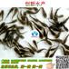 黄腊丁鱼苗多少钱一公斤&广西黄腊丁鱼苗_创新水产